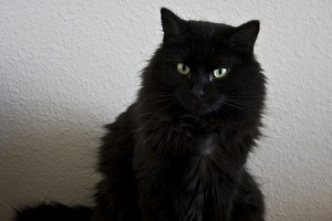Tippek a hosszú szőrű macskák ápolásához