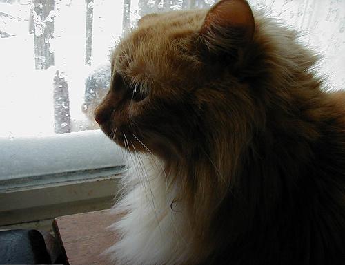 szoros-macska