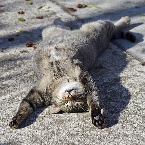 Alvó cica