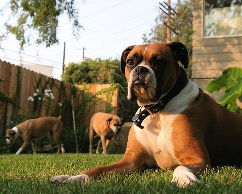 boxer-kutyak