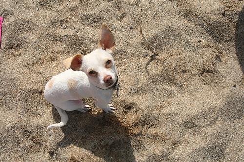 homoki-csivava