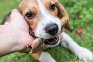 Hogyan szoktassuk le a kutyát a rágásról?