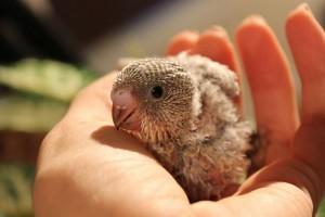 Bébiétel a madárfiókáknak?