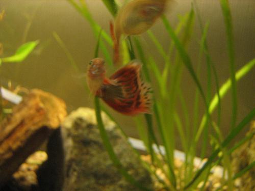 guppi-akvariumok