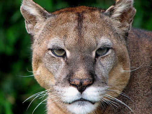 Puma-portre