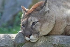 A puma (1993 óta Puma concolor, előtte Felis concolor) élőhelye és szokásai