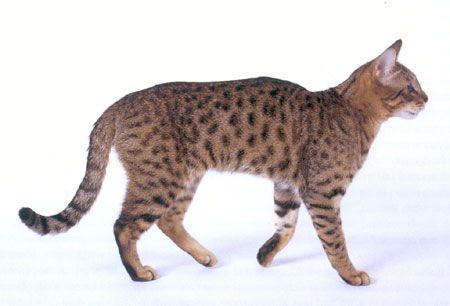 kaliforniai-pottyos-macska