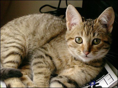 kaliforniai-cica