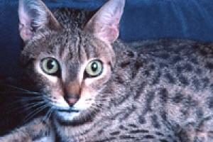 A kaliforniai pöttyös macska (California Spangled Cat) profilja - 2. rész