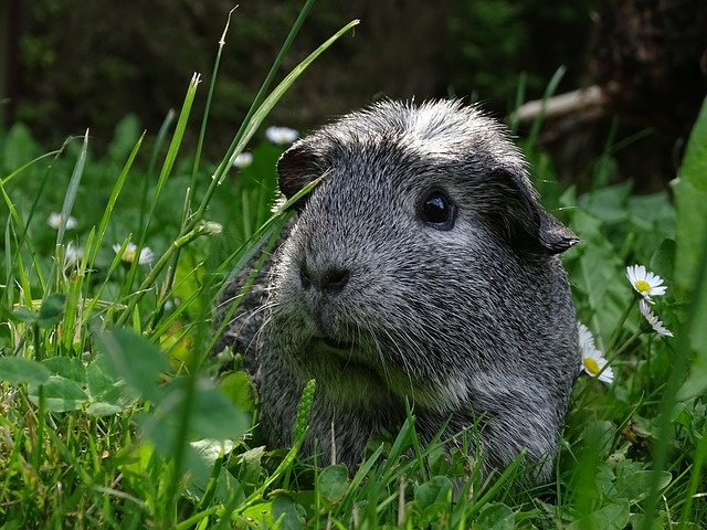 guinea-pig-3156140_640