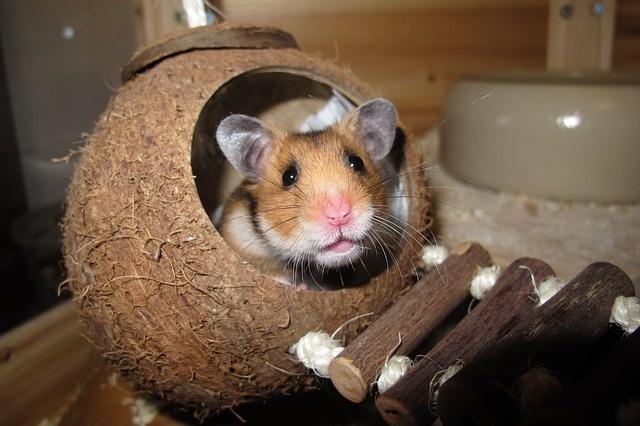 hamster-1803423_640