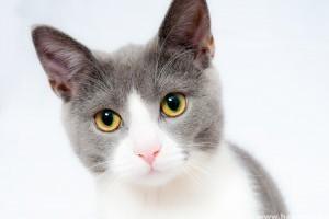 Hogyan kell gondozni a cukorbetegségben szenvedő cicát?