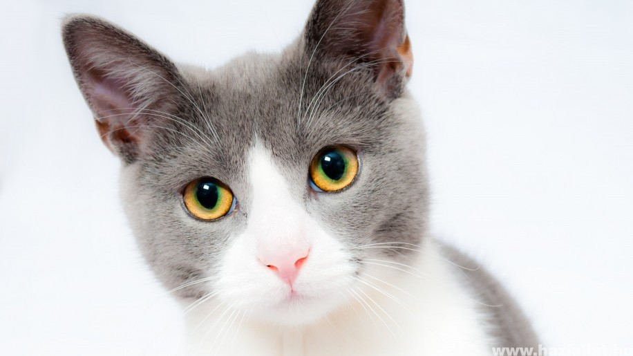 Cukorbeteg macska: hogyan gondozzuk?
