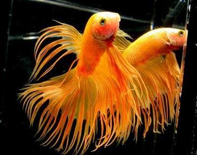 sziami-harcoshal