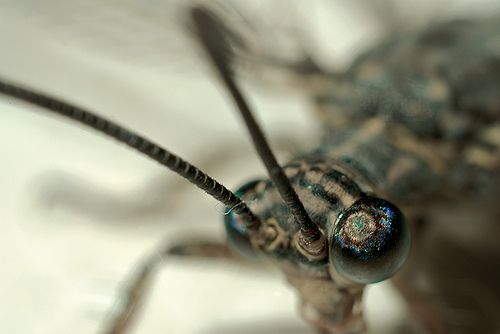 hangyaleső (Myrmeleon formicarius)