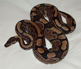 Királypiton, vagy python regius