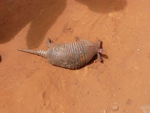 A kilencöves tatu (Dasypus novemcinctus)