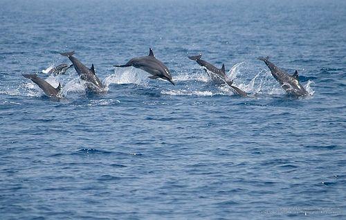 Delfin (latinul Delphinus)