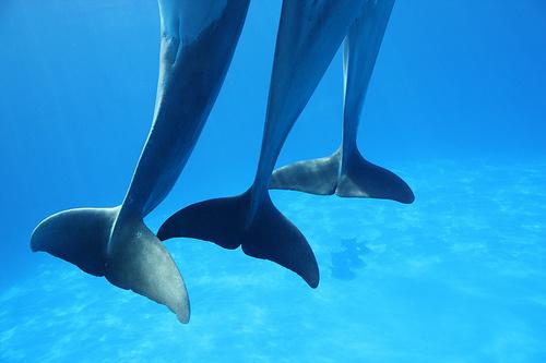 delfin-uszony