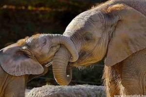 Mire jó az elefánt ormánya?