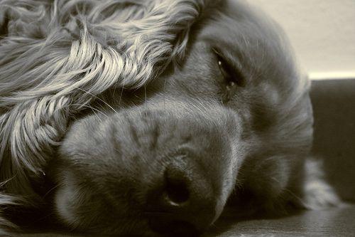 Cukorbetegség a kutyáknál