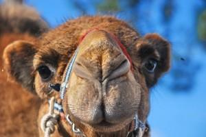 A kétpúpú teve (Camelus bactrianus, régebben Camelus ferus) vagy baktrián