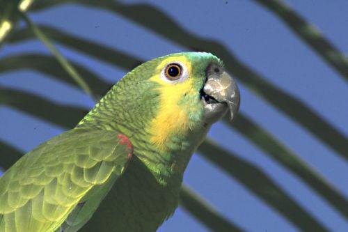 Kékhomlokú amazonpapagáj