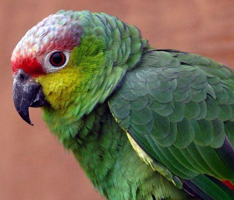 Őszi amazonpapagáj