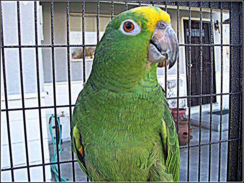 Sárgatarkójú amazonpapagáj