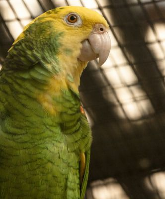 Sárgafejű amazonpapagáj