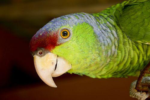 Kéksapkás amazonpapagáj