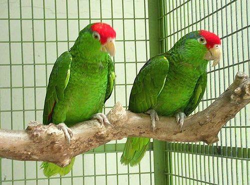 Zöldarcú amazonpapagáj