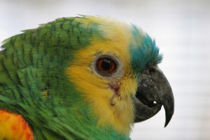 Népszerű amazonpapagáj fajták - 2. rész