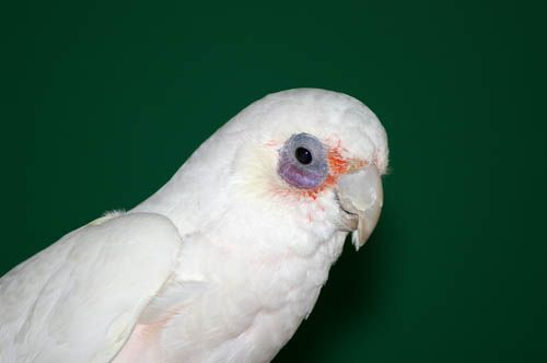 Csupaszszemű kakadu