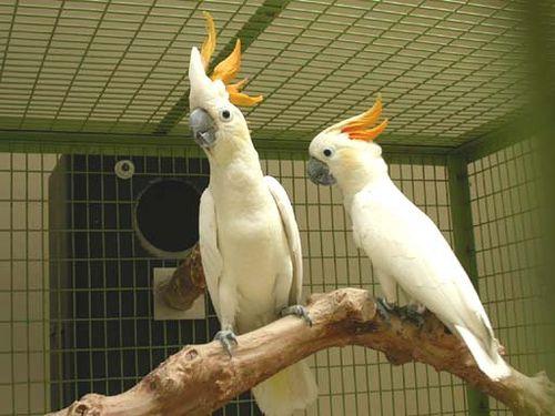 Narancsbóbitás kakadu