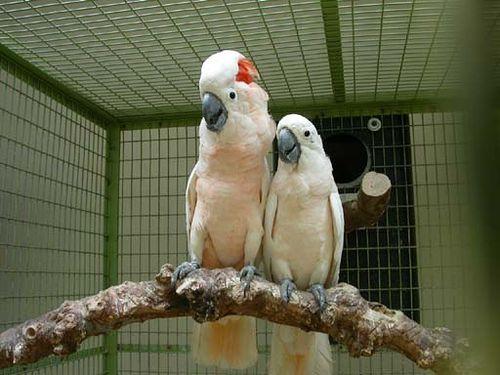 Maluku kakadu