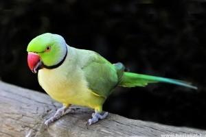 Ők a legnépszerűbb beszélő papagájok
