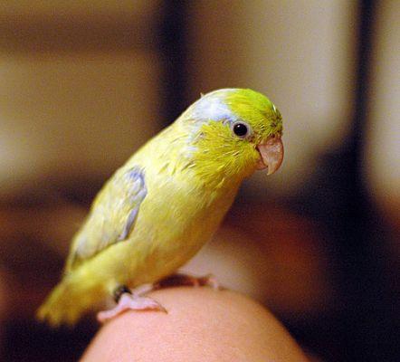 Parrotlet papagáj