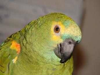 Cockatiels papagáj