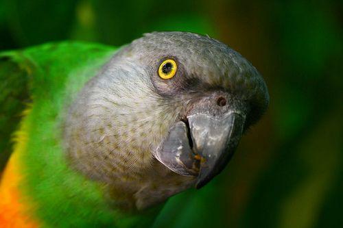 Szenegáli papagáj