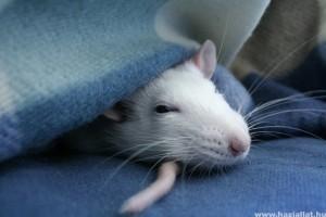 Mit kell tudni a patkányokról?  - 1. rész