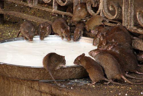 Patkányok, mint háziállatok