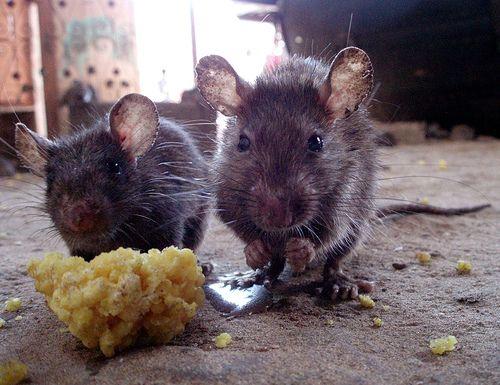 Patkányok élettartama