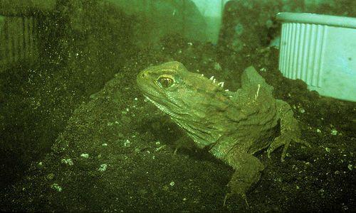 Sphenodon-punctatus