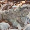 A hidasgyík vagy tuatara (Sphenodon punctatus)