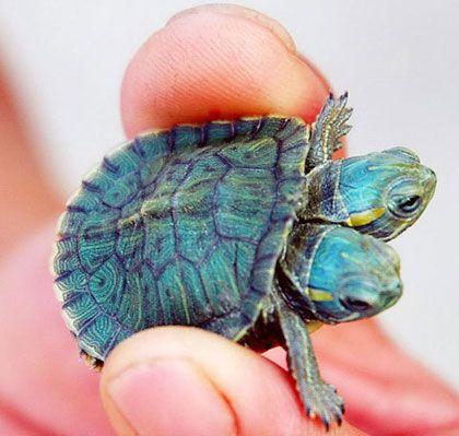 Csernobili teknős