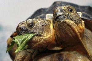kétfejű teknős