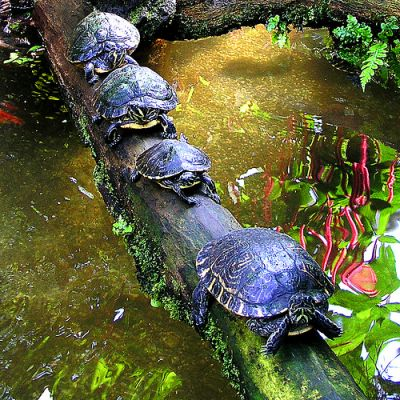 Teknősők menetelnek