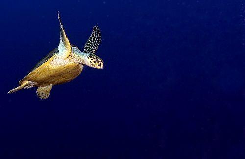 Úszó teknős