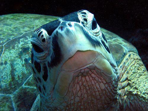Érdeklődő teknős